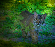 Bobcat Kitten Framed Prints - Bobcat Kitten Framed Print by Mark Andrew Thomas