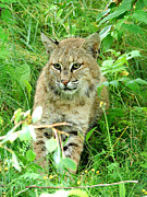 Bobcat Posters - Bobcat lynk sitting in grass close-up Poster by Sylvie Bouchard