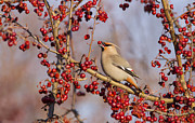 Bohemian Photos - Bohemian Waxwing by Mircea Costina Photography