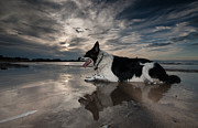 Collie Digital Art Posters - Border Collie Poster by Keith Thorburn