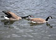 Susan Wiedmann - Bossy Canada Goose