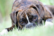 Boxer Photo Framed Prints - Boxer dog Framed Print by Jana Behr