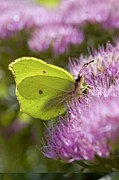 Science Photo Library - Brimstone butterfly