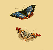 Lepidopterist Posters - British Butterflies Poster by Unknown