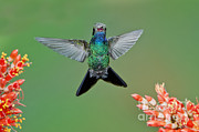 Anthony Mercieca - Broad-billed Hummingbird