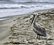 Bill Baer - Brown Pelican