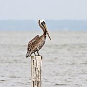 Scott Pellegrin - Brown Pelican