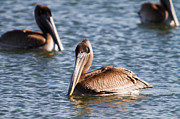 Coastal Photos - Brown Pelicans by Michael McStamp