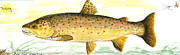 Trout Mixed Media Prints - Brown Trout Print by Sally Fraser