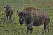 Buffalo Painterly Print by Ernie Echols