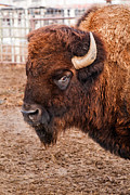 Herbivores Prints - Buffalo Print by Robert Bales