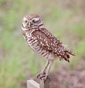 Owl Posters - Burrowing Owl  Poster by Kim Hojnacki