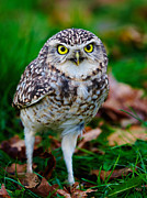 Nick  Biemans - Burrowing Owl