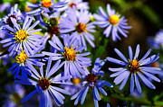 Aster  Photo Framed Prints - Bushy Aster  Framed Print by Thomas R Fletcher