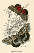 Insects Painting Framed Prints - Butterflies Framed Print by English School