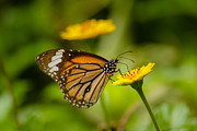 Danaus Genutia Framed Prints - Butterfly - Common Tiger Framed Print by Saurav Pandey