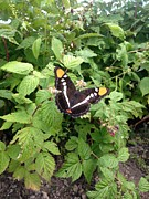 Raspberry Photo Originals - Butterfly by Erika Chamberlin