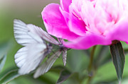 Nobility Photo Posters - Butterfly Love Dance on Peony Poster by Jenny Rainbow