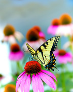 Indiana Flowers Framed Prints - Butterfly Framed Print by Michael Huddleston