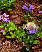 Wilmington Photos - Butterfly on Flower  by Amy Lucid