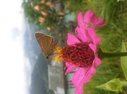 Smrita Pradhan - Butterfly On Pink Flower