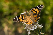 Gooseneck Loosestrife Prints - Butterfly painted lady on gooseneck loosestrife Print by Colette Planken-Kooij