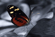 Fauna Originals - Butterfly by Riccardo Franke