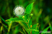 Jens Larsen - Buttonbush Flower