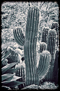 Old Photos Framed Prints - Cactus Land Framed Print by Kelley King