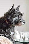 Nicki Bennett - Cairn Terrier Sasha