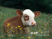 Hans Reinhard - Calf Among Flowers
