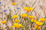 Angiosperms Posters - California Poppy Poster by Rich Leighton