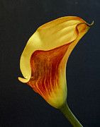 Calla Lilly Metal Prints - Calla Lilly Metal Print by David and Carol Kelly