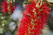 Callistemon Citrinus - Crimson Bottlebrush Print by Sharon Mau