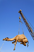 Camel Photos - Camel at the Ashgabat Sunday Market in Turkmenistan by Robert Preston