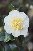 Camellia Japonica Photo Framed Prints - Camellia japonica Brushfields Yellow Framed Print by Geoff Kidd