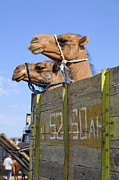 Camel Photo Prints - Camels at the Ashgabat Sunday Market in Turkmenistan Print by Robert Preston
