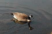 On Paper Photos - Canada Goose 258 by Joyce StJames