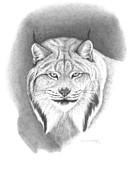 Wildlife Drawings Drawings Framed Prints - Canada Lynx Framed Print by Lee Updike