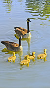 Barbara Dean - Canadian Goose Family