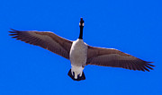 Photography Birds - Canadian Goose by Steven Natanson