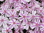 Creeping Phlox Framed Prints - Candy Stripe Phlox Framed Print by Michele Penner