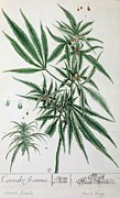 Green Leaves Posters - Cannabis  Poster by Elizabeth Blackwell
