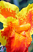 Canna Framed Prints - Cannas Framed Print by Paul Fell