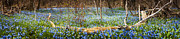 Panoramic Prints - Carpet of blue flowers in spring forest Print by Elena Elisseeva