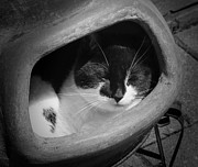 Pet Photo Prints - Cat in Pot Print by Wim Lanclus