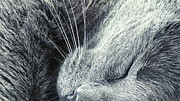 Whiskers Prints - Cat Nap Print by Karen Lewis