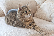 Andrew Gaylor - Cat on Settee