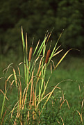 Plants Pictures Framed Prints - Cat Tails Framed Print by Skip Willits