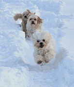 Maltese Dogs Photos - Catch Me If You Can by Lisa  DiFruscio